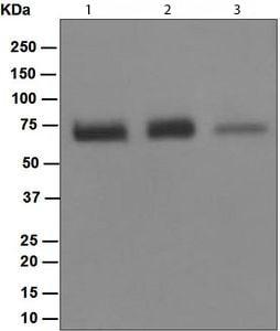 Western blot - NR2C2 antibody [EPR1772(2)] (ab109513)