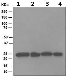 Western blot - Proteasome 20S alpha 2 antibody [EPR5453] (ab109525)