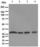 Western blot - Proteasome 20S alpha 3 antibody [EPR5455] (ab109532)