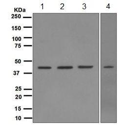 Western blot - Anti-TDP43 [EPR5810] antibody (ab109535)