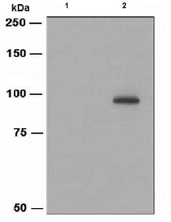 Western blot - Anti-VAV3 (phospho Y173) antibody [EPR1068A] (ab109544)