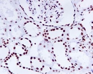 Immunohistochemistry (Formalin/PFA-fixed paraffin-embedded sections) - Anti-KAP1 [EPR5249] antibody (ab109545)