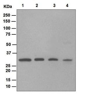Western blot - Nucleoside phosphorylase antibody [EPR5714] (ab109559)