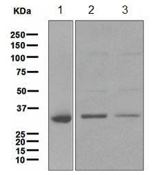 Western blot - CYB5R3 antibody [EPR3867] (ab109620)