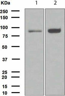 Western blot - FOXO3A antibody [EPR1950] (ab109629)