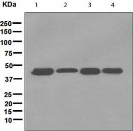 Western blot - LIS1 antibody [EPR3335(2)] (ab109630)