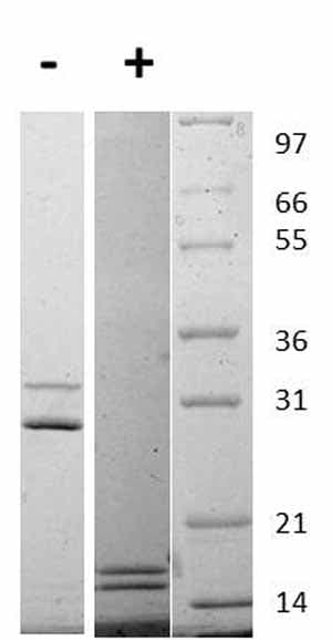 Other-IL17A + IL17F protein (Active)(ab109681)