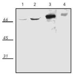Western blot - Hsp70 + Hsc70 antibody (ab109689)