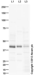 Western blot - Anti-CCR6 antibody (ab109703)