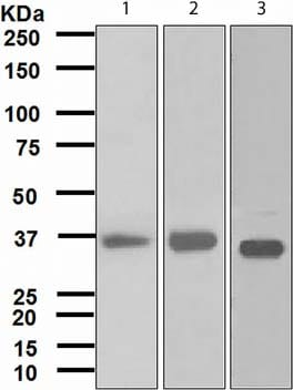 Western blot - FBP1 antibody [EPR4620] (ab109732)