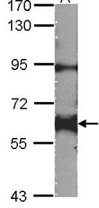 Western blot - Yes1 antibody (ab109744)