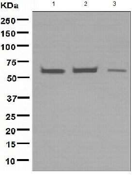 Western blot - EHD1 antibody [EPR4955] (ab109747)