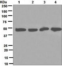 Western blot - Dynamitin antibody [EPR5094] (ab109752)