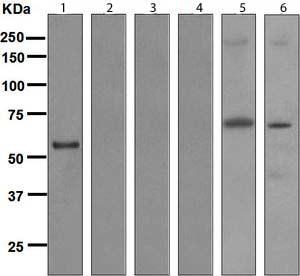 Western blot - Human IgG3 antibody [EPR4419] (ab109761)