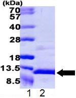 SDS-PAGE - NAP2 protein (ab109834)