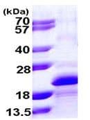 SDS-PAGE - MYLPF protein (ab109842)