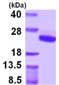SDS-PAGE - ARF5 protein (ab109844)