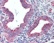 Immunohistochemistry (Formalin/PFA-fixed paraffin-embedded sections) - Hsp60 antibody (ab109873)