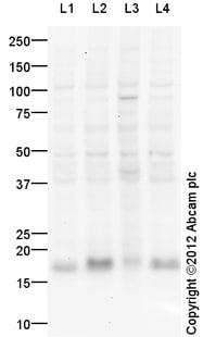 Western blot - Anti-RHEB antibody (ab109914)