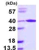 SDS-PAGE - ARA9 protein (ab109934)