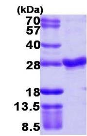 SDS-PAGE - Rab4 protein (ab109957)