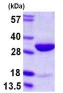 SDS-PAGE - HMGB2 protein (ab109962)