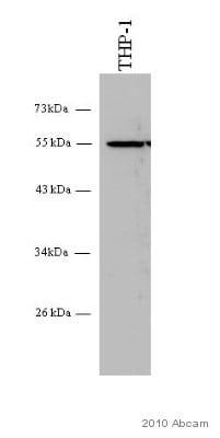 Western blot - Anti-TUBA4A (acetyl K40) antibody [6-11B-1] (ab11323)
