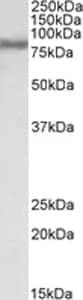 Western blot - FACL4 antibody (ab110007)