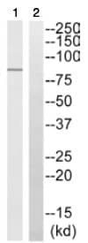 Western blot - CD168 antibody (ab110075)