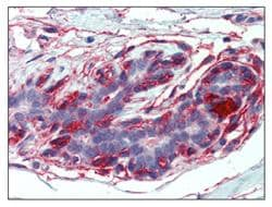 Immunohistochemistry (Formalin/PFA-fixed paraffin-embedded sections) - EPB4IL2 antibody (ab110118)