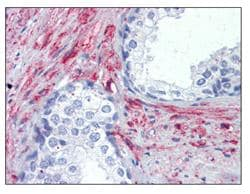Immunohistochemistry (Formalin/PFA-fixed paraffin-embedded sections) - CGK2 antibody (ab110124)