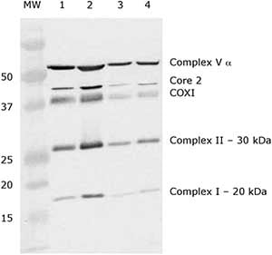 Western blot - Mitochondria Isolation Kit for Tissue (with Dounce Homogenizer) (ab110169)