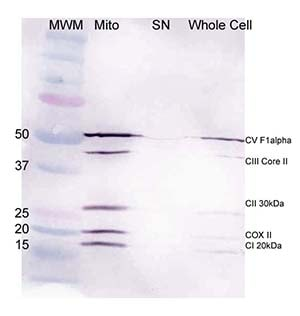Western blot - Mitochondria Isolation Kit for Cultured Cells (ab110170)