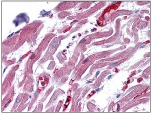 Immunohistochemistry (Formalin/PFA-fixed paraffin-embedded sections) - RAE1 antibody (ab110192)