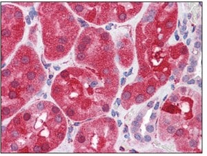 Immunohistochemistry (Formalin/PFA-fixed paraffin-embedded sections) - SHP2 antibody (ab110194)