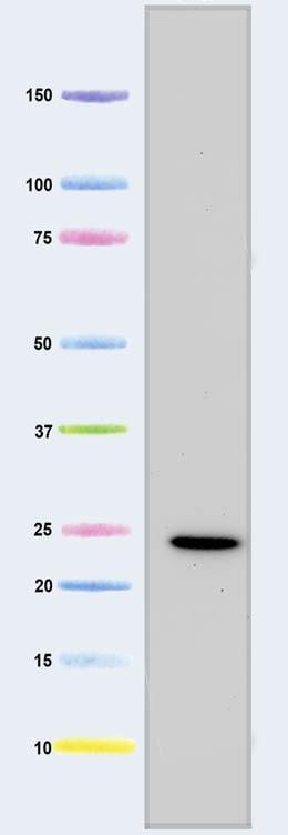 Western blot - Cytochrome C oxidase subunit II antibody [12C4F12 ] (ab110258)