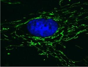 Immunocytochemistry/ Immunofluorescence - ATP5H antibody [7F9BG1 ] (ab110275)