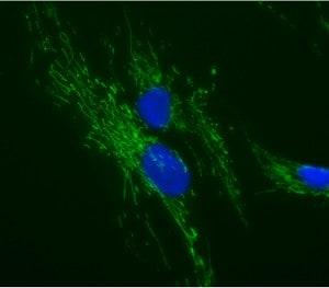 Immunocytochemistry/ Immunofluorescence - ATP5O antibody [4C11C10D12] (ab110276)