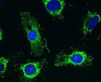 Immunocytochemistry/ Immunofluorescence - Pyruvate Dehydrogenase E1-alpha subunit antibody [8D10E6 ] (ab110334)