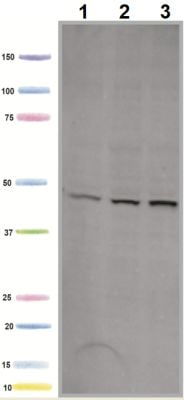 Western blot - Anti-Mitochondrial Pyruvate dehydrogenase kinase 1 antibody [2H3AA11] (ab110335)