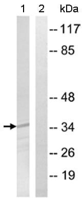 Western blot - OR12D3 antibody (ab110361)