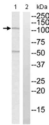 Western blot - MYBPC1 antibody (ab110363)