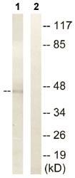 Western blot - FOXD4L2 antibody (ab110372)