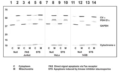 Western blot - ApoTrack™ Cytochrome c Apoptosis WB Antibody Cocktail (ab110415)