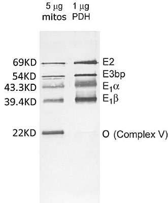 Western blot - MitoProfile® Pyruvate dehydrogenase (PDH) WB Antibody Cocktail (ab110416)