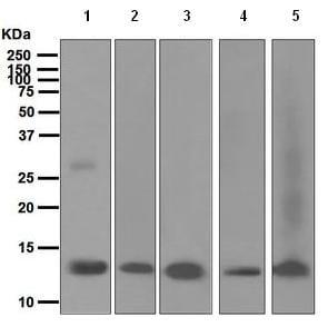 Western blot - OCM2 antibody [EPR5310] (ab110647)