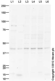Western blot - Anti-Wnt8a antibody (ab110672)