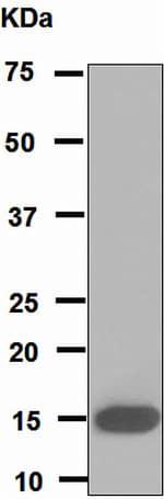 Western blot - PLA2G1B antibody [EPR5186] (ab110706)