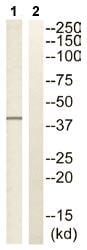 Western blot - CHST13 antibody (ab110762)