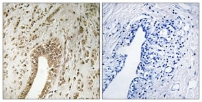 Immunohistochemistry (Formalin/PFA-fixed paraffin-embedded sections) - PHF3 antibody (ab111116)